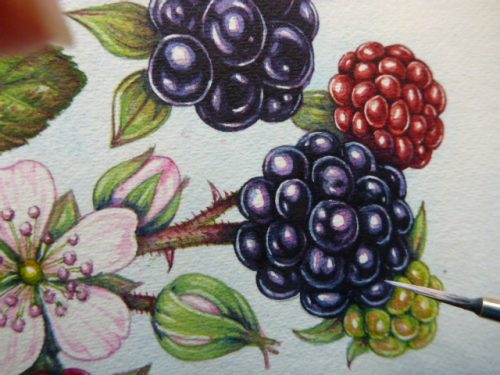 png stock Blackberry drawing illustration. Step by lizzie harper