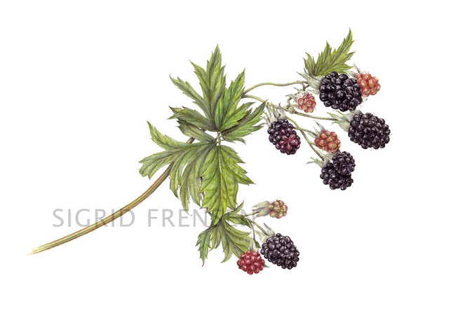svg black and white download Thornless evergreen colored pencil. Blackberry drawing juicy