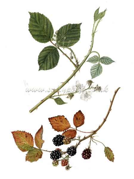 png library Hawthorn bramble and bryony. Blackberry drawing vines