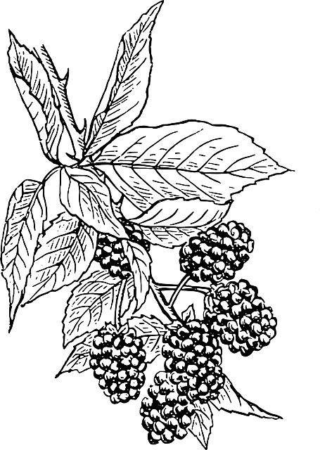 png download Blackberry drawing. Vines with flowers and