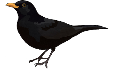 svg freeuse library Blackbird drawing. Popular and trending stickers