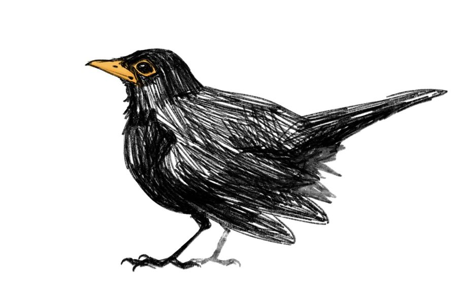 graphic download Entry by anacomor for. Blackbird drawing cartoon