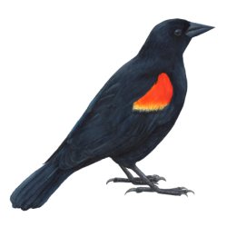 clipart freeuse Day red winged craftgawker. Blackbird drawing gothic