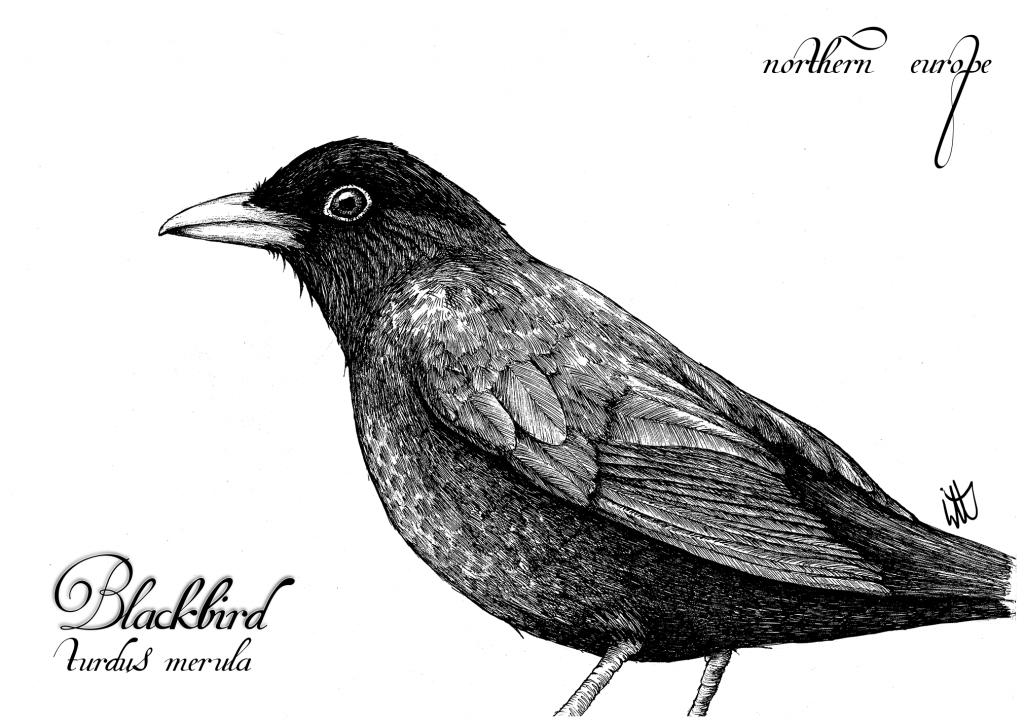 jpg free stock Blackbird drawing ink. Bird studies in the