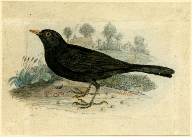 clip library library British museum image gallery. Blackbird drawing ink