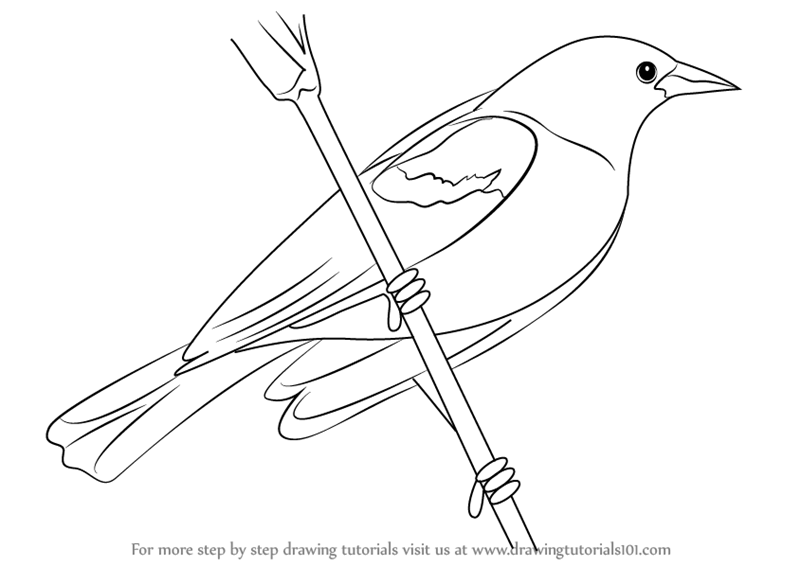 png download Learn how to draw. Blackbird drawing step by
