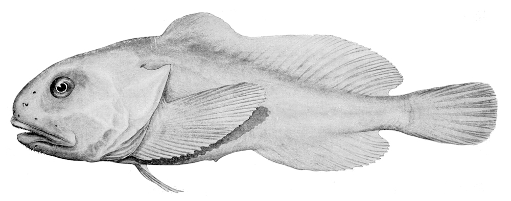 jpg black and white stock Psychrolutes marcidus wikipedia . Blobfish drawing under sea