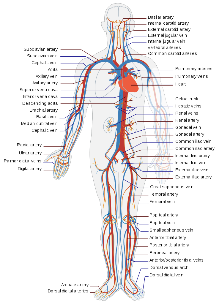 image freeuse stock Circulatory system