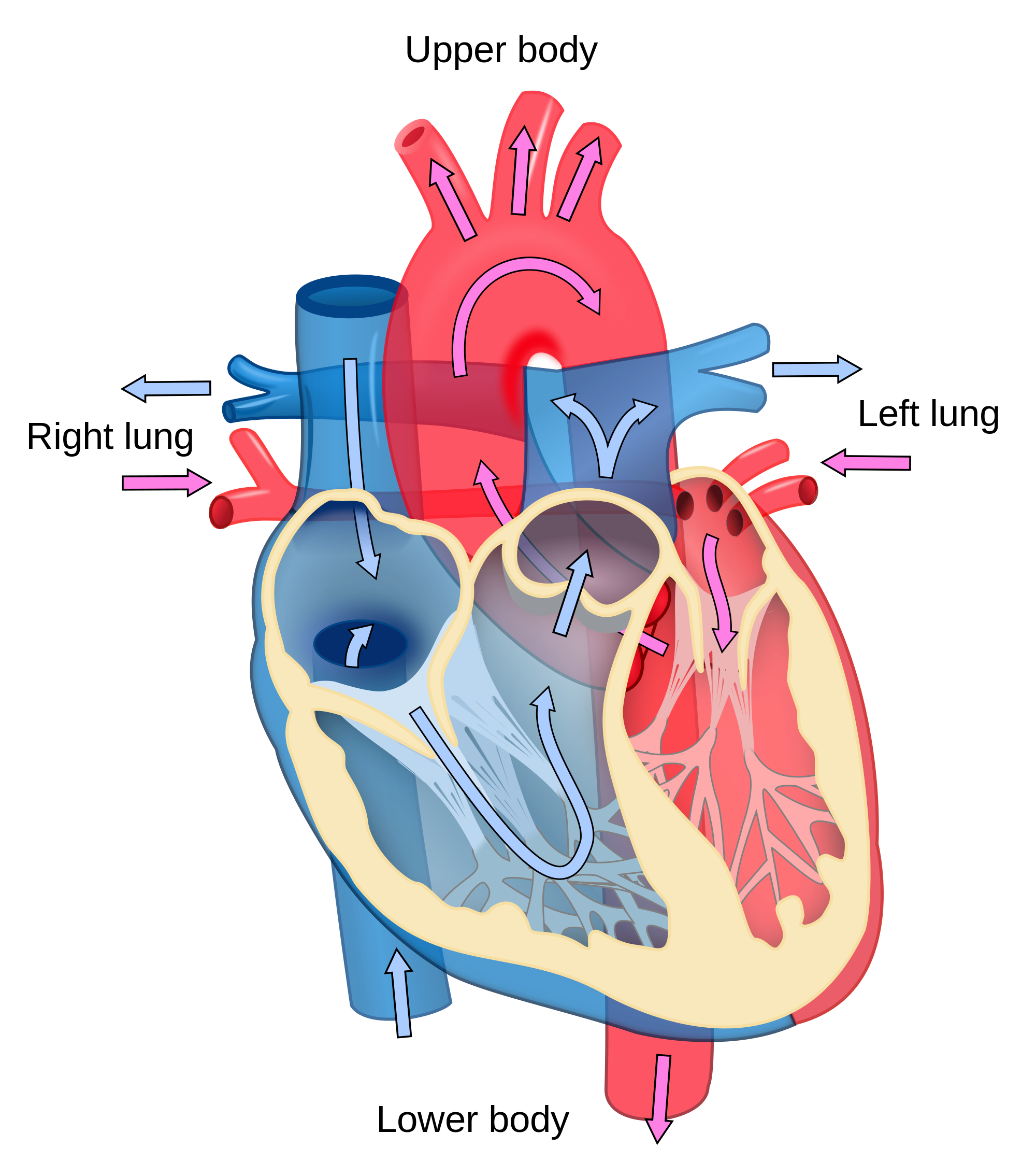 picture transparent library File heart diagram flow. Blood clipart blood circulation