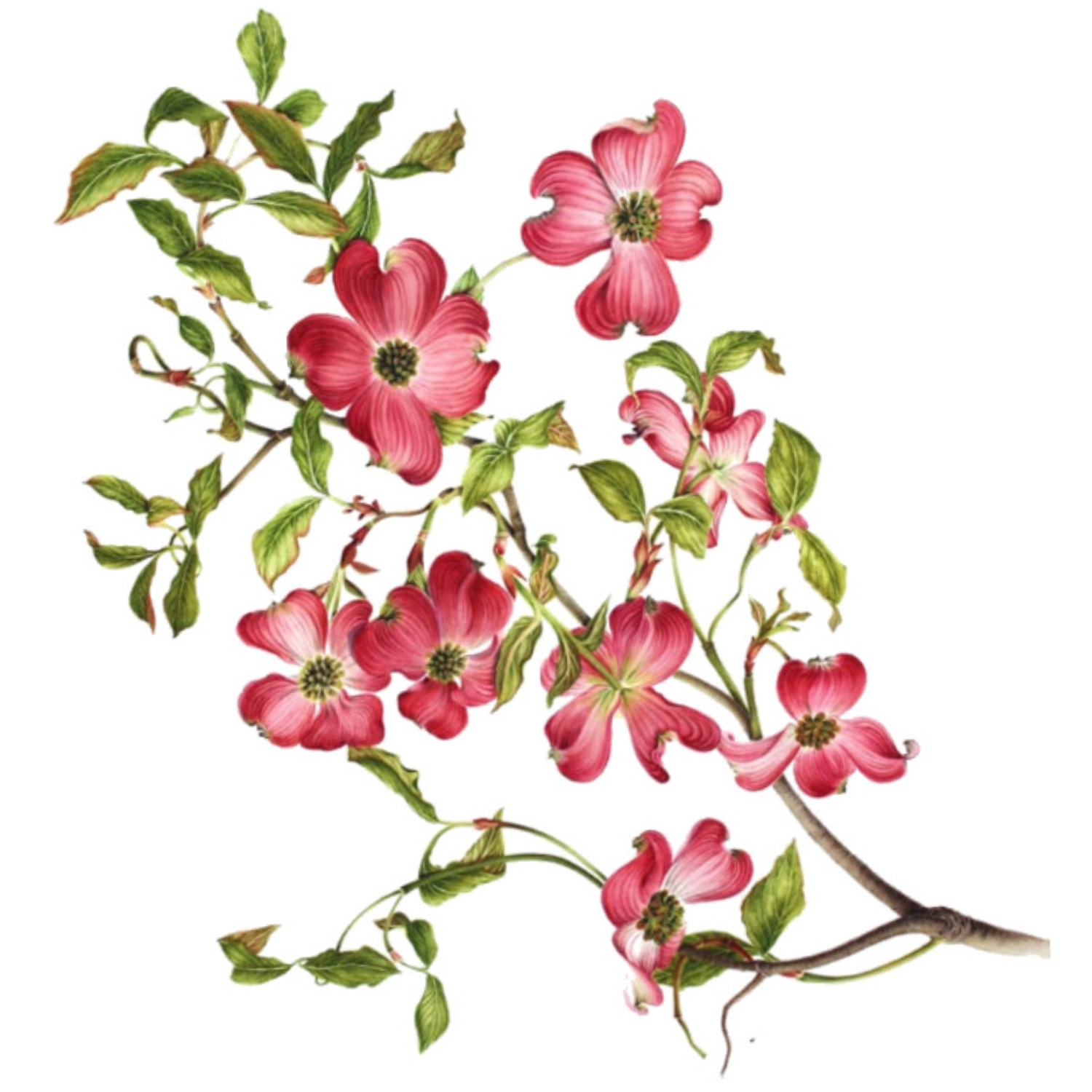vector royalty free download Blossom clipart dogwood tree. Free cliparts download clip.