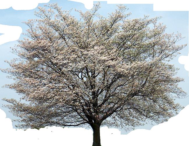svg black and white library Flowering kousa cornus alternifolia. Blossom clipart dogwood tree.