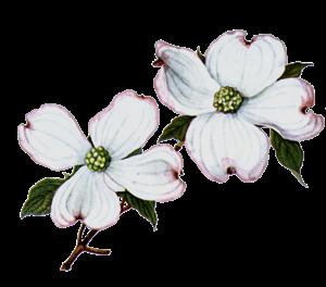 free Flower clip art free. Blossom clipart dogwood tree.