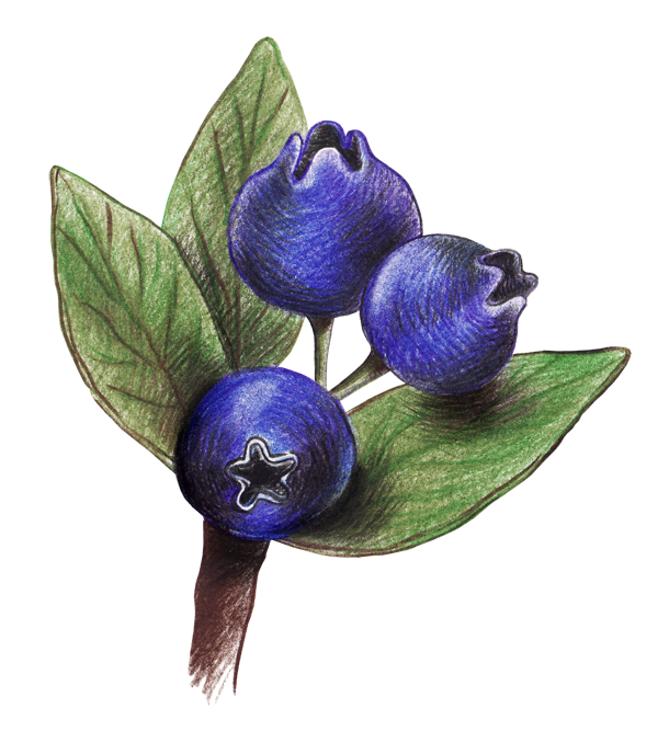 picture library stock Blackberry drawing blueberry. Colored pencil blueberries transprent