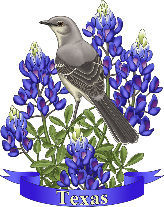 picture library stock Bluebonnets drawing bird. Texas state mockingbird and