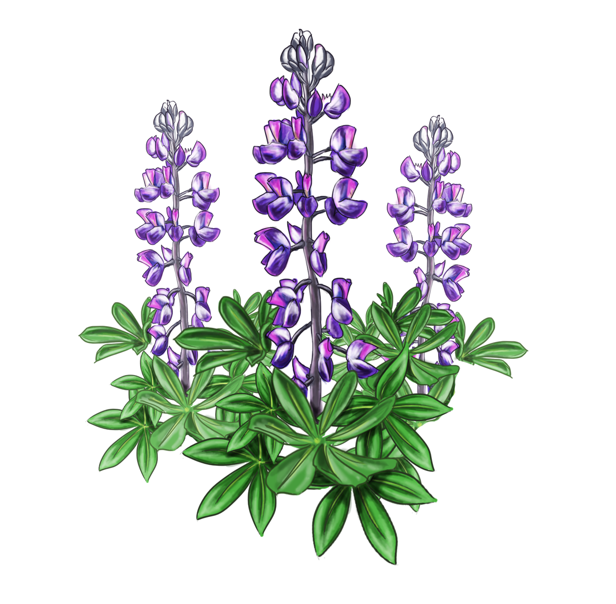 clip transparent stock Lupine bluebonnet alaska plant. Bluebonnets drawing flower