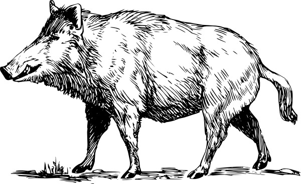 picture black and white library For free download about. Boar vector