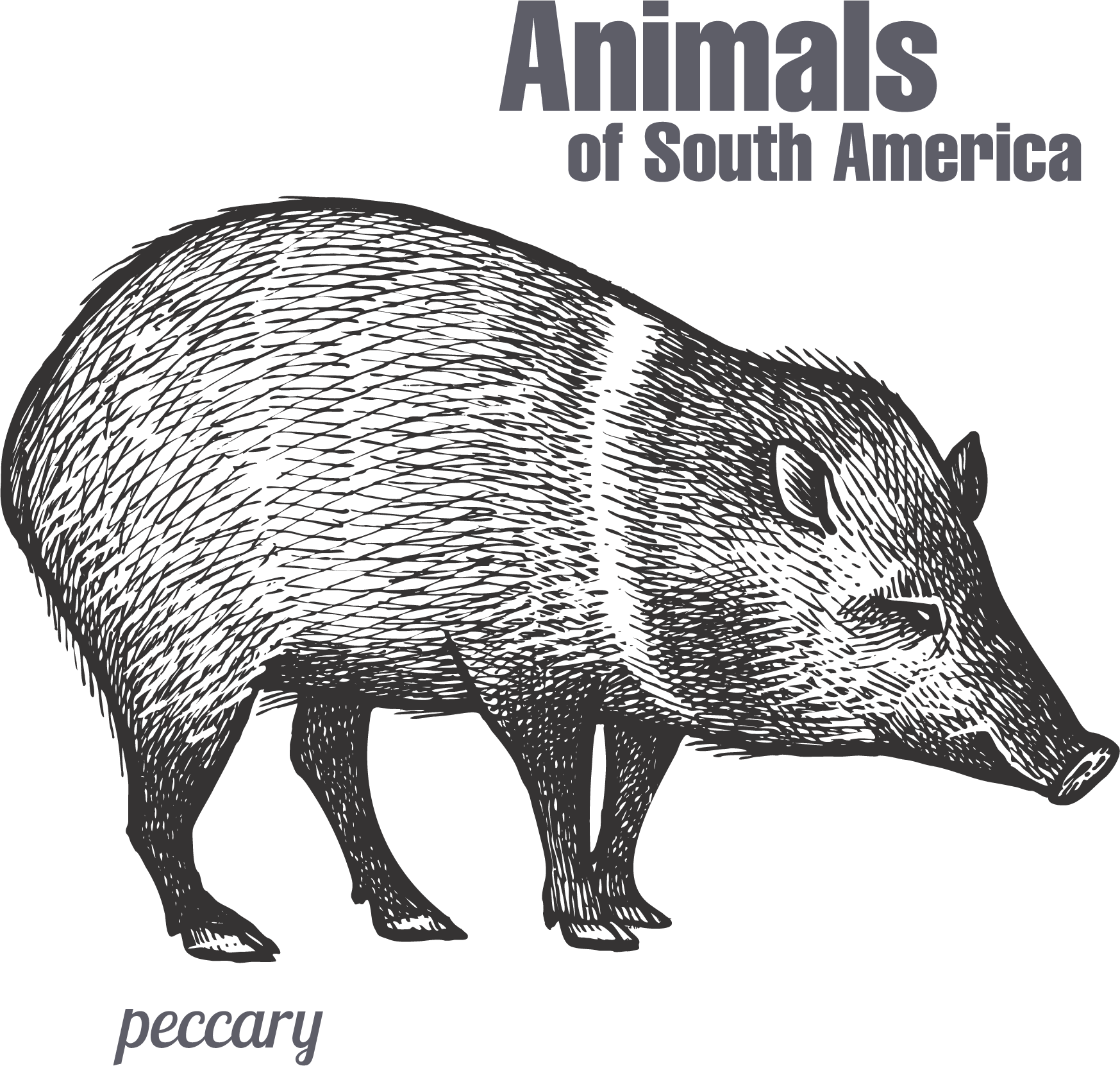clip library library Peccary drawing hand painted. Boar vector animal sketch