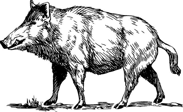 transparent wild boar graphhics