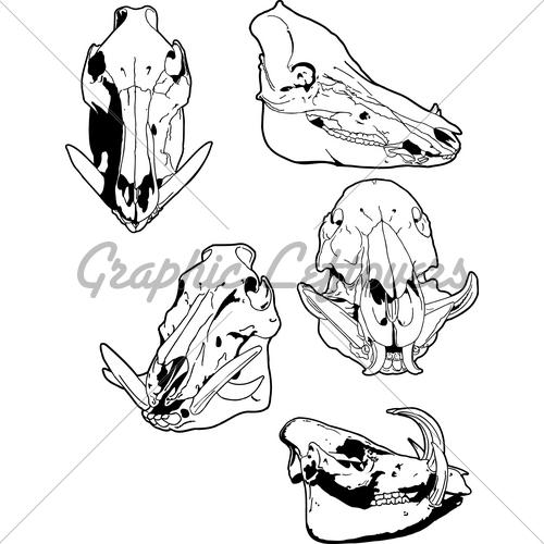 vector free stock Boar vector skull. Wild hog gl stock