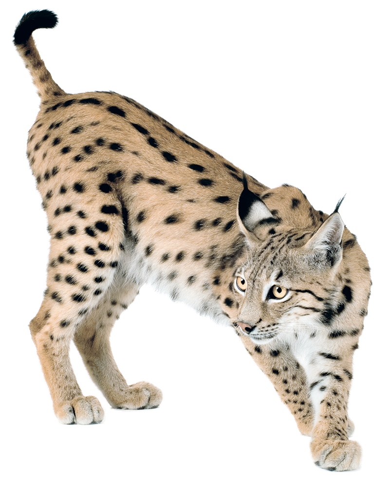 banner royalty free download Lynx PNG images free download