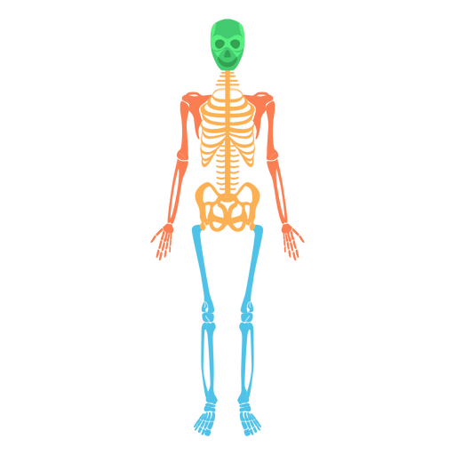 clipart transparent library Skeletal system body colored. Bones vector human bone