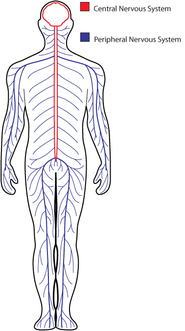 clip black and white download Collection of free Centralized clipart nervous system