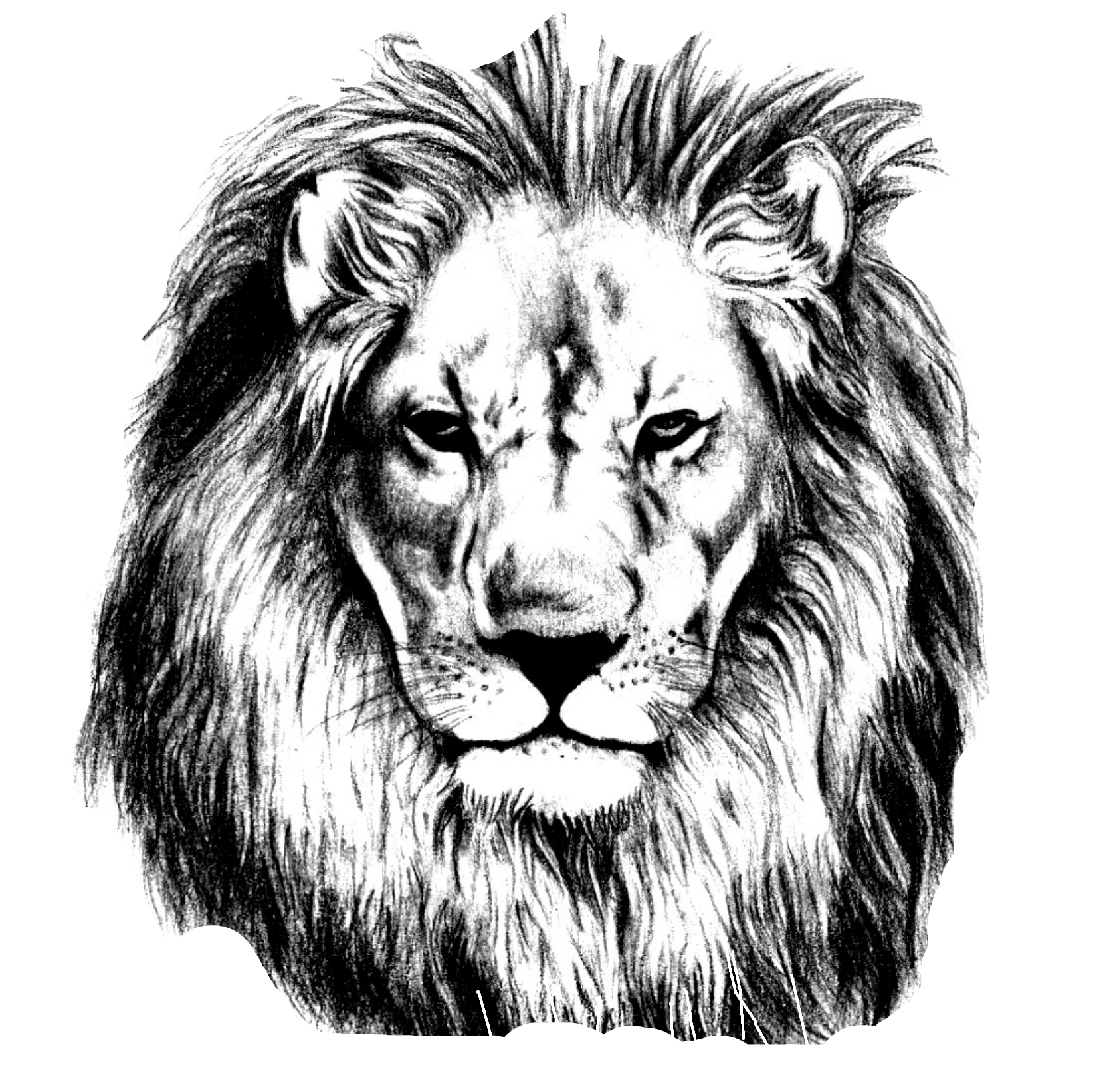 picture free Pencil sketch lions head. Drawing charcoal lion