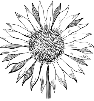 clip free download Sunflower Black And White Drawing at GetDrawings