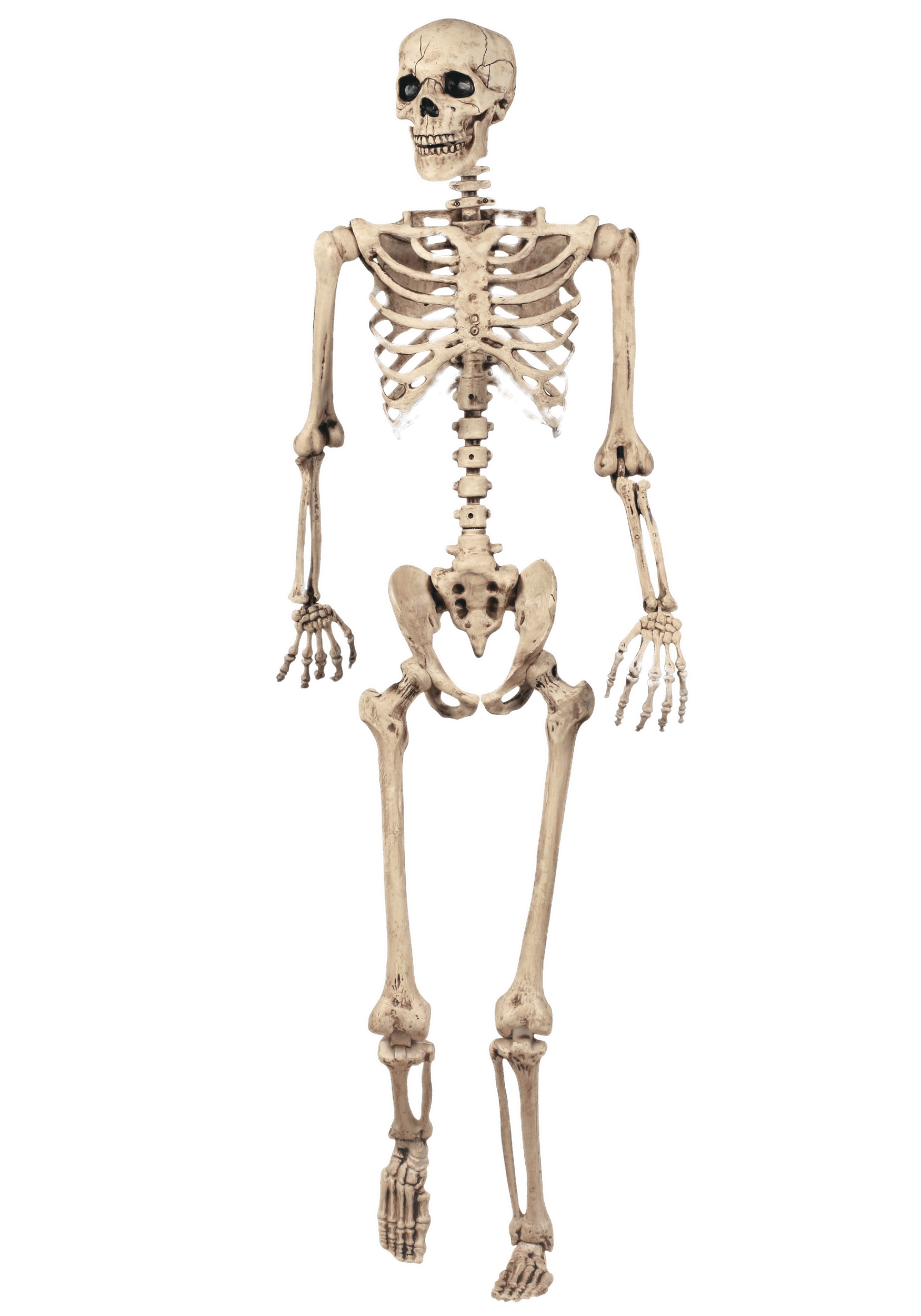 vector stock Full skeleton model transparent. Bone clipart humerus bone