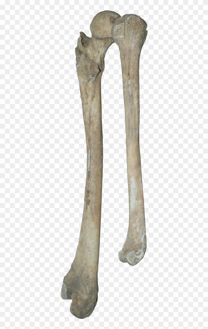 image freeuse download Bones transparent. Bone real png download.