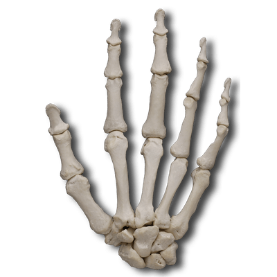 picture stock Bones transparent background. Of the body png