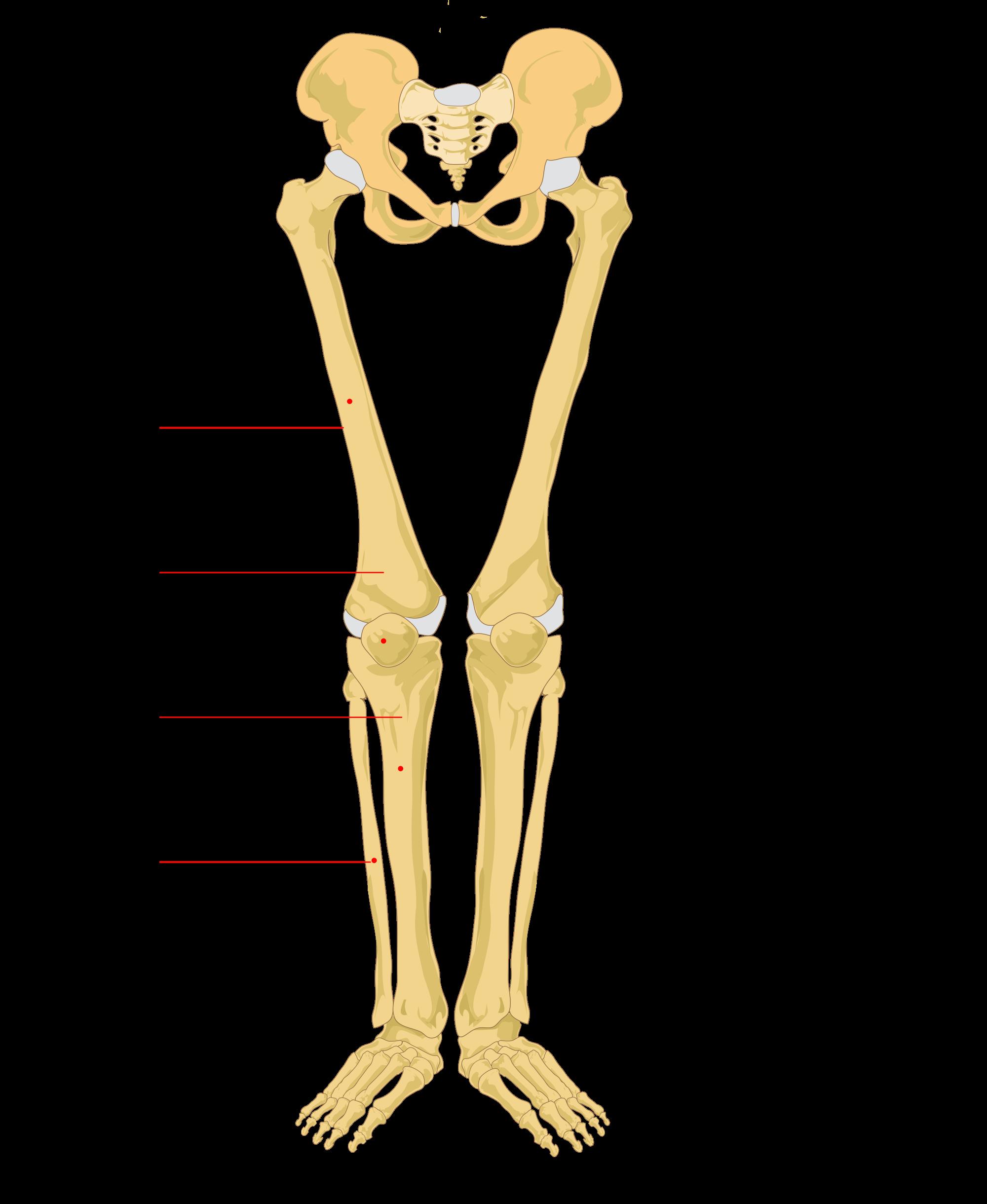jpg free stock File human leg labeled. Bones vector femur bone