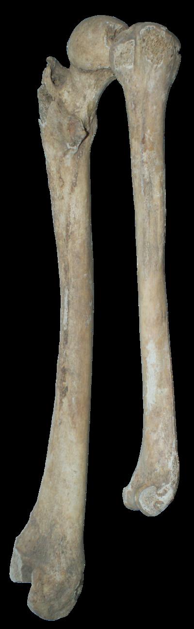 banner free Bone transparent real. Bones png by gd