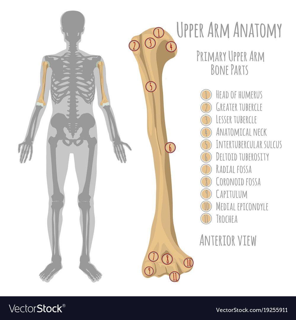 jpg free Bones vector arm bone. Pin by n laymen