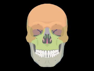 clip freeuse library Bones vector blank. Skeletal system quizzes anterior