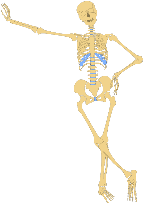 clipart black and white library Free skeleton outline psd. Bones vector human bone