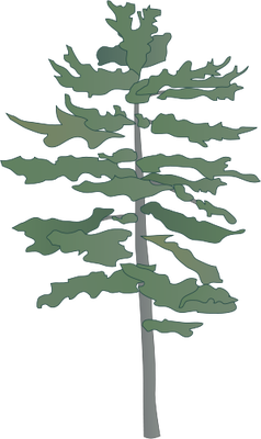 clip free stock eastern white pine tree drawing