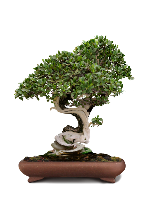 graphic royalty free download Free photos bonsai tree search