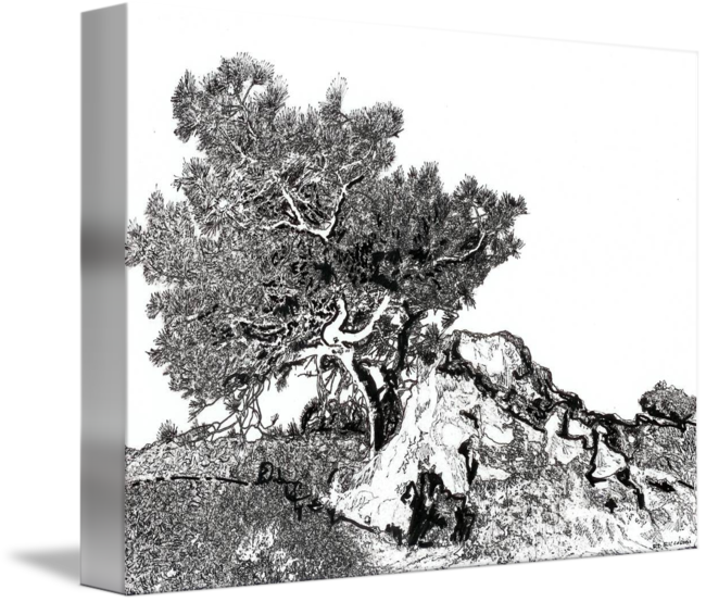 picture library download Torrey pine tree by RD Riccoboni drawing by RD Riccoboni