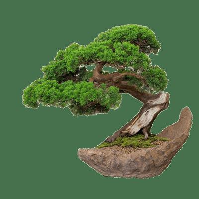 png transparent download Bonsai Drawing transparent PNG