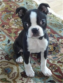 banner free stock Dog breed pictures . Boston Terrier 4