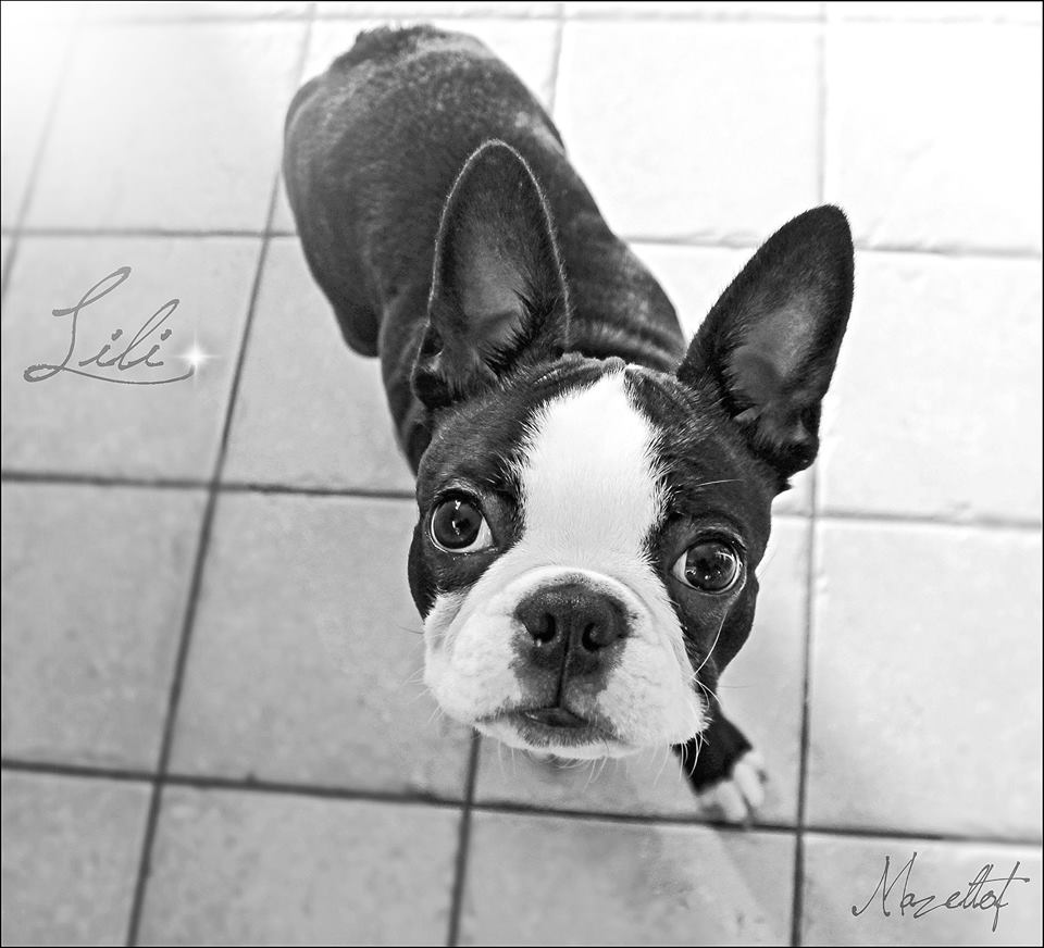 download Boston Terrier 4. Say hi to this