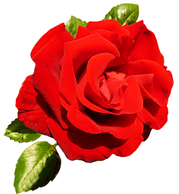 banner free stock Of valentine roses red. Bouquet clipart valentines day rose