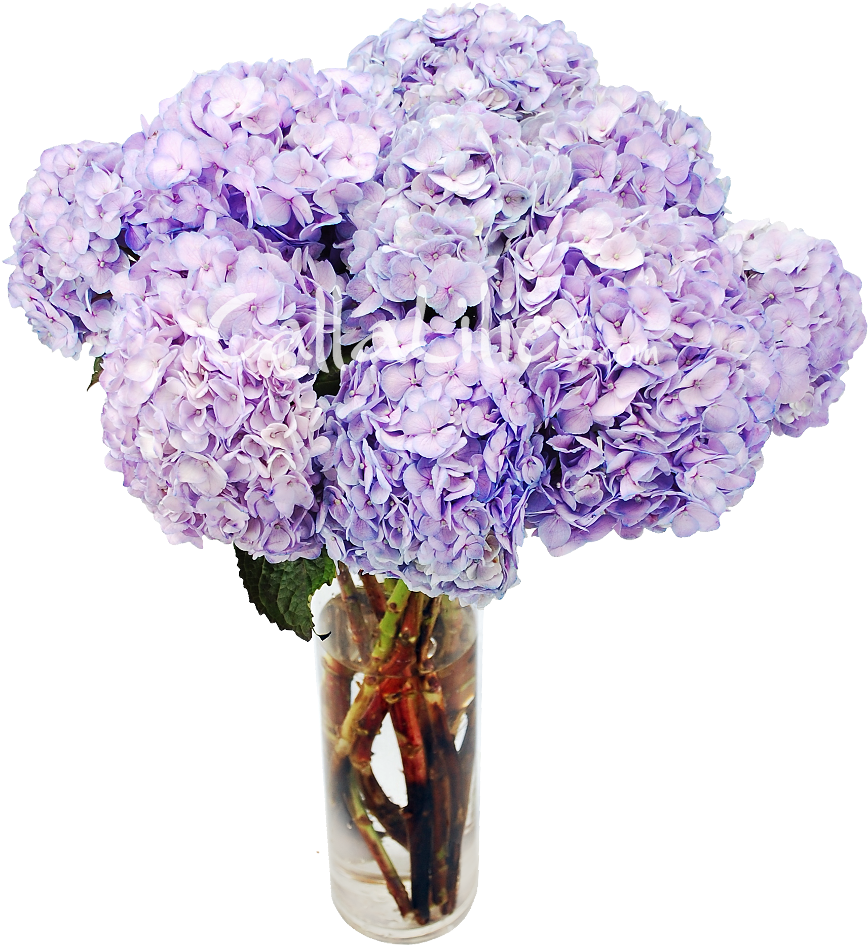 banner free library Lavender Tinted Hydrangeas