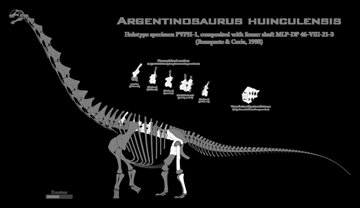 transparent Argentinosaurus huinculensis skeletal by SpinoInWonderland on DeviantArt