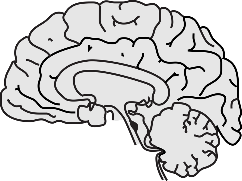 image transparent  free images pictures. Brain black and white clipart