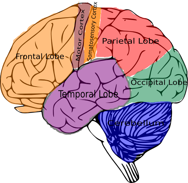 jpg royalty free Brain clipart human brain.  domains of learning