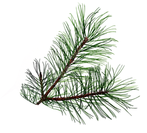 graphic stock Branch clipart bough. Pine free images at