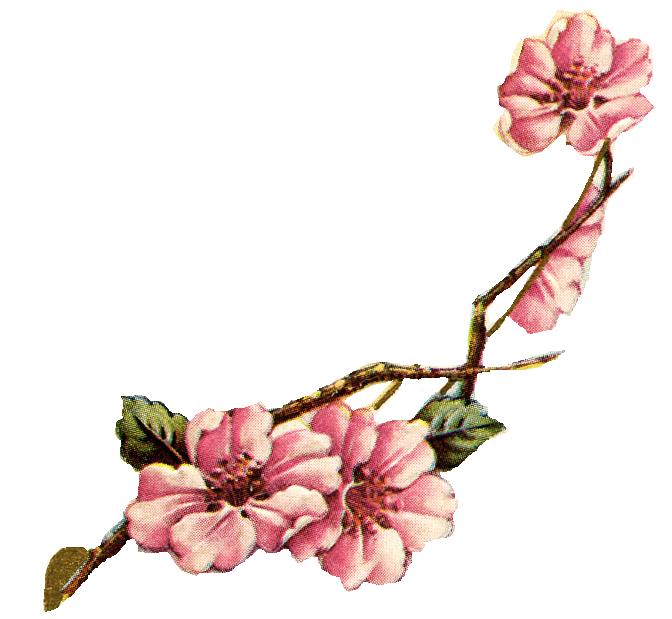 banner black and white stock Branch clipart vintage. Sakura blossom free on