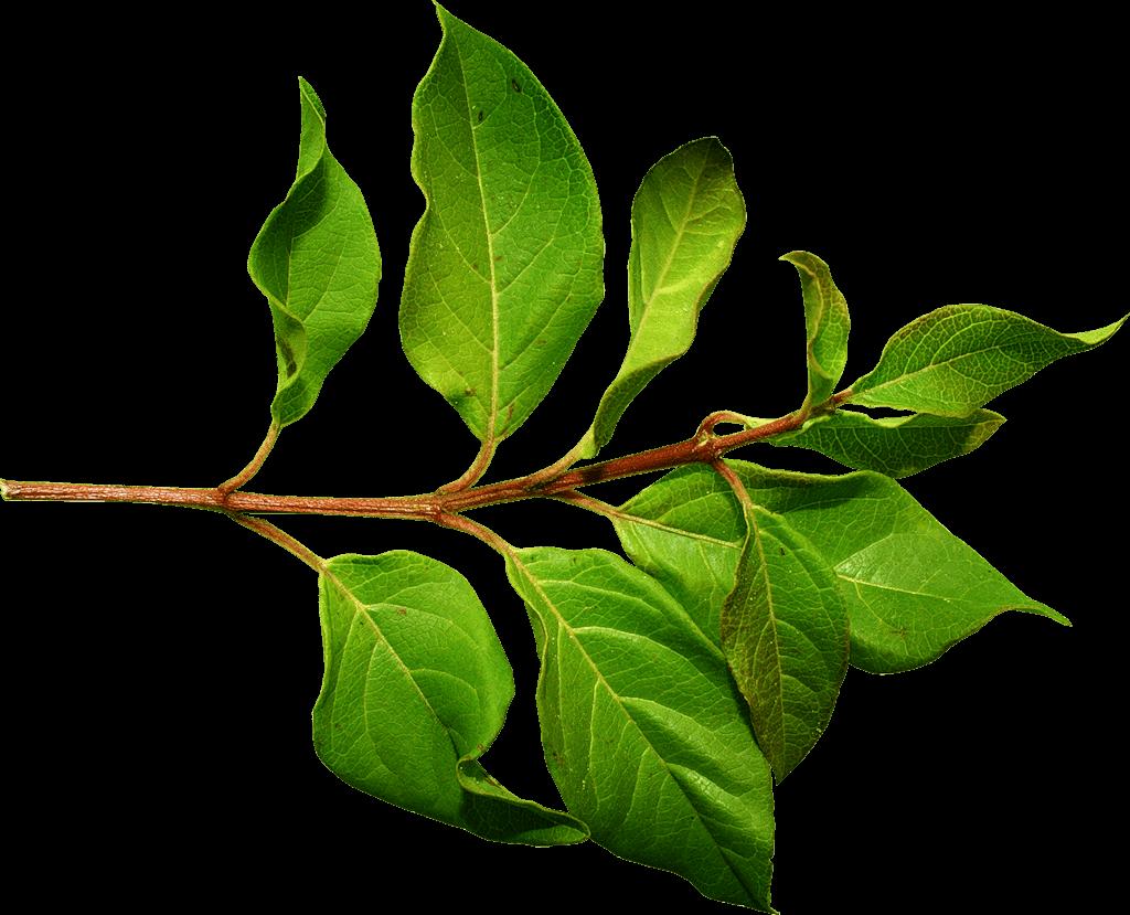 vector royalty free download Branch Green Leaf transparent PNG